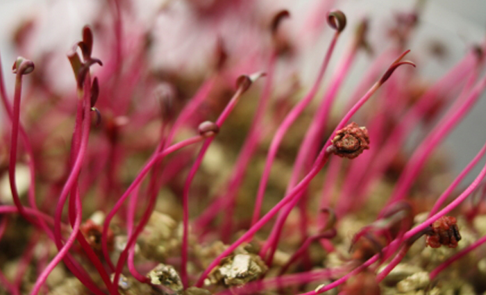 700x425-magenta-seedlings
